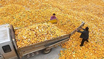Pese al recorte de 25 millones de toneladas de maíz en Estados Unidos, la cosecha global de cereales será récord