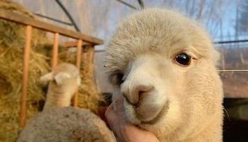 Twitter: un hilo de ovejas, llamas y alpacas que se volvió viral