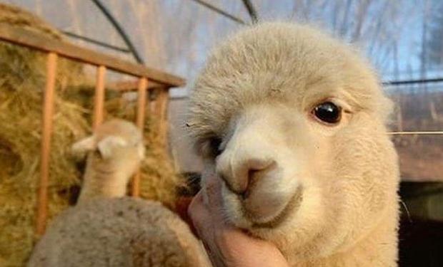 El hilo viral sobre llamas y ovejas.