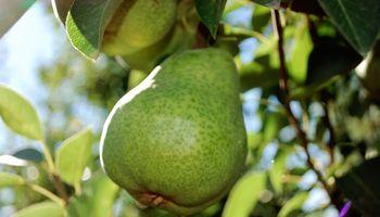 Fuerte pérdida de competitividad para peras, manzanas y cítricos este año