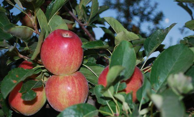 Manzanas en el Alto Valle de Río Negro.