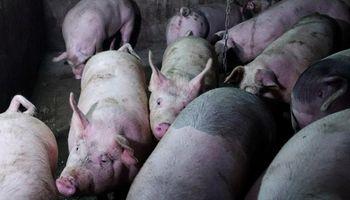 Alerta en Corea del Sur por la detección del primer caso de fiebre porcina