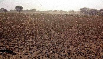 Tucura quebrachera: Senasa declara alerta fitosanitaria en todo el país
