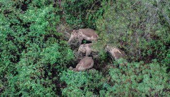 China: elefantes caminan a la deriva, ya destruyeron cultivos y generaron pérdidas por un millón de dólares