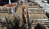Liniers: la demanda exportadora traccionó los precios de las vacas