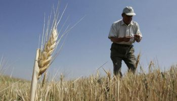 De cara a la siembra de trigo, ¿qué revelan las encuestas?