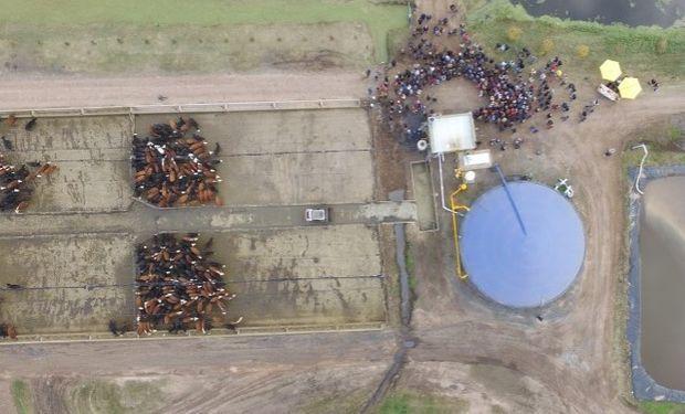 Con el estiércol de 500 vacunos generan biogás y luego lo transforman en energía eléctrica.