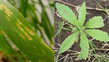 Enfermedades y malezas: los nuevos desafíos que enfrenta la siembra de los tradicionales cultivos de trigo y cebada
