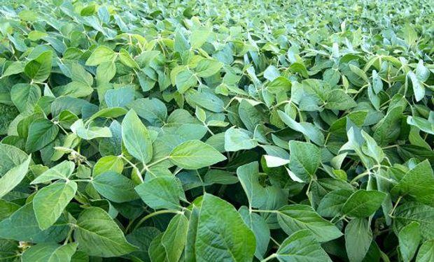 A tener en cuenta luego de las lluvias: cómo potenciar la defensa de la soja para evitar enfermedades