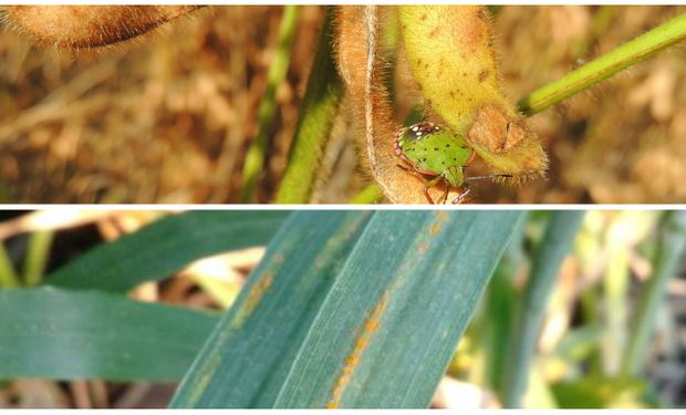 Chinches y Roya Amarilla afectan a los cultivos.
