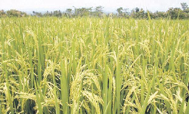 Entre Ríos sembró el 40% del área destinada al arroz