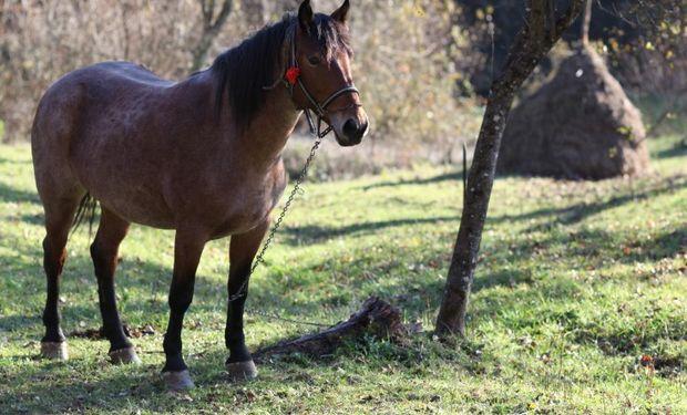 Los caballos que terminan su vida útil son los que van al frigorífico y provienen de campos, clubes hípicos o de las fuerzas armadas.