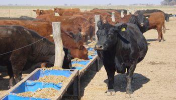 """""""Ergot"""" en sorgo, ¿debemos preocuparnos cuando alimentamos al ganado?"""