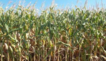Escasez de agua afecta al maíz sobre algunas regiones