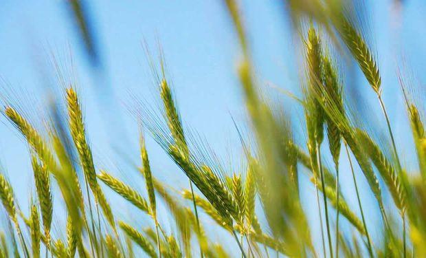 Destacan la sanidad del trigo en el centro norte de Santa Fe, pero ponen en duda los rendimientos