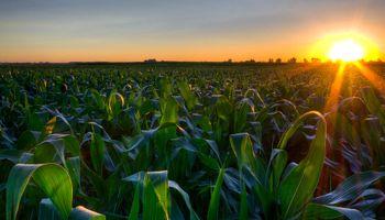 Mejora la condición del maíz en Estados Unidos