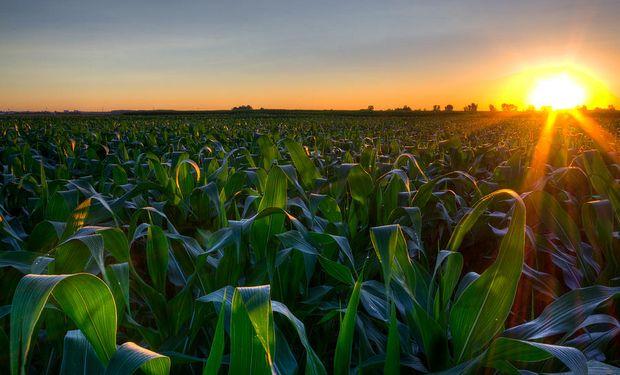 En el maíz, se reportó una mejoría del 1% en la condición de los cultivos.