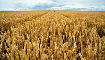 Ajustan estimación mundial de trigo