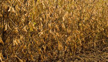 Estiman una producción de 54,9 M de Tn de soja