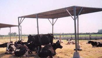 Bovinos para carne: ¿cuándo se generan condiciones de estrés por calor?