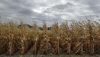 El etanol de maíz, al borde del quebranto