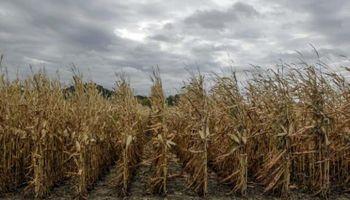 Desazón de etanoleros de maíz