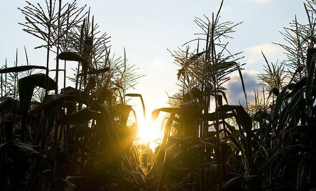 Hoy un millón de toneladas de maíz (el 4% de la cosecha para grano comercial) se usa para etanol.