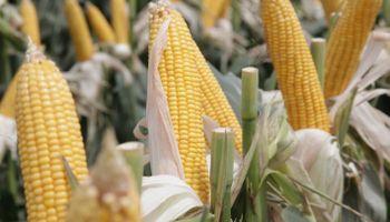 El Gobierno destacó la aprobación de 3 nuevos eventos biotecnológicos en maíz
