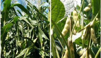 Santa Fe: expectativas favorables para la soja y el maíz