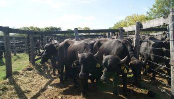 Carne de búfalo: innovar en la parrilla con una opción saludable