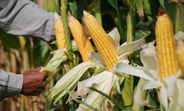 """¿Es falso que se alcanzó el """"saldo exportable"""" de maíz?"""