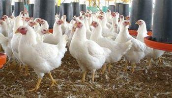 Buen negocio con los pollos enteros