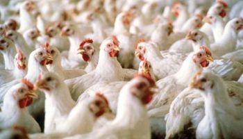 Exportaciones de carne aviar crecieron un 15%