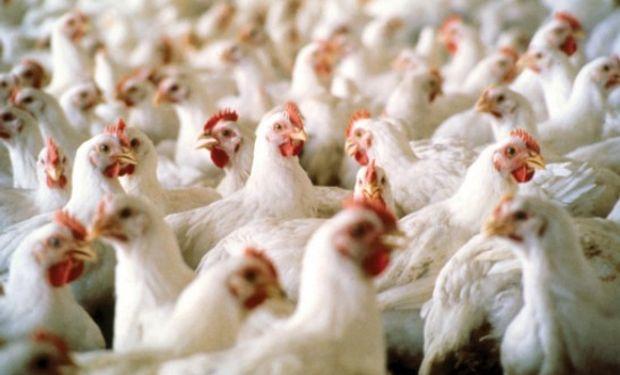 Exportaciones de carne aviar acumularon 120.000 toneladas hasta julio.