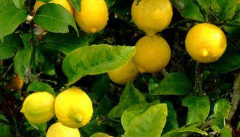 Agroindustria anunció la reapertura del mercado brasileño para cítricos argentinos