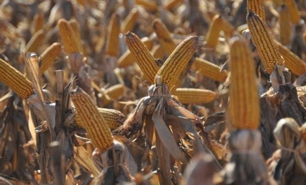 Cosecha de maíz actual sería de 37,9 millones de toneladas.