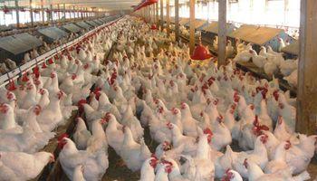 Se derrumbaron las exportaciones argentinas de pollos