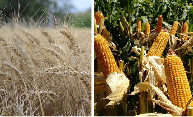 EE.UU. incrementó en 932% sus compras de trigo local y en 940% las de maíz argentino en los primeros cuatro meses del año.