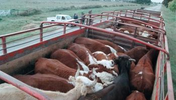 Uruguay mantiene buen ritmo en venta de terneros en pie