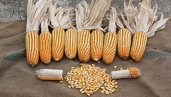 Se registraron exportaciones por 37.000 toneladas de híbridos de maíz