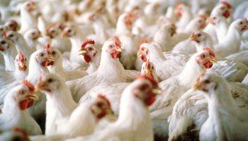 Exportaciones de carne aviar de Brasil baten récords