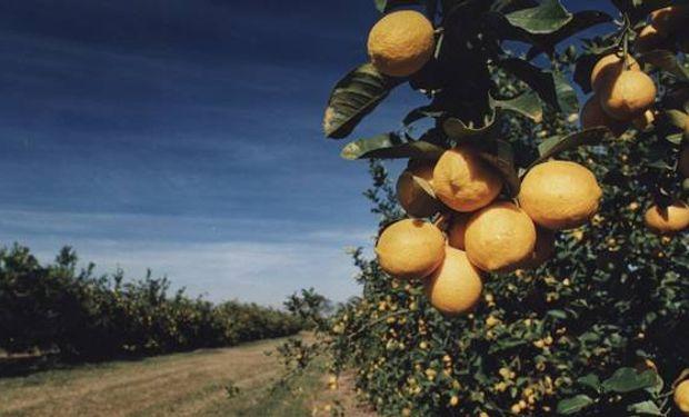 El 90% de las plantaciones de limones se concentran en Tucumán. La Argentina es el primer productor mundial.