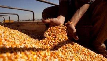 """""""Estamos poniendo al zorro a cuidar el gallinero"""": la respuesta de productores del norte al cupo para exportar maíz"""