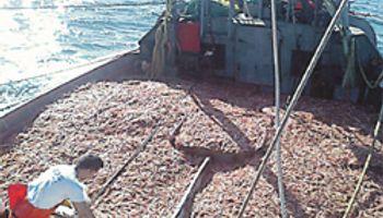 Proyectan suba del 30% en exportación pesquera