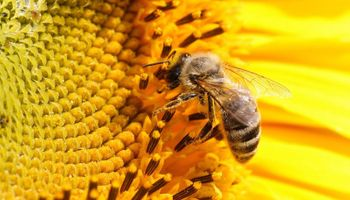 EE.UU. en alerta por extinción de abejas