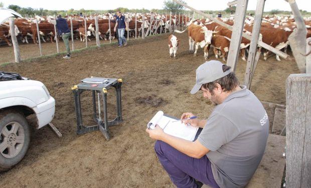 Faena sanitaria de bovinos en la Patagonia.