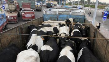 Uruguay: prevén que continúe el envío de vacas lecheras a los frigoríficos