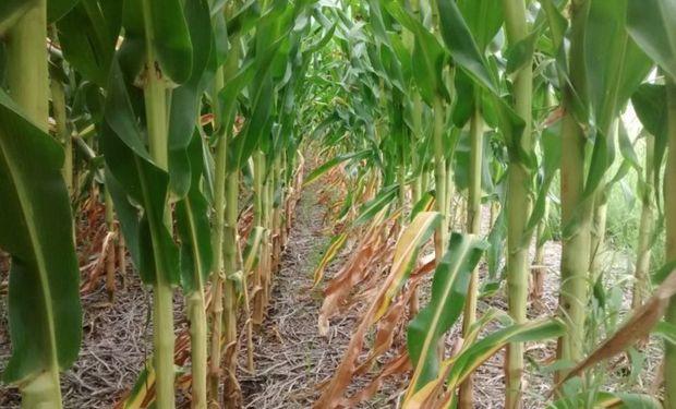 Daños irreversibles para cultivos de maíz en el noreste bonaerense.