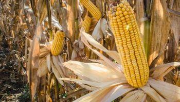 Farmers apuestan con todo al maíz