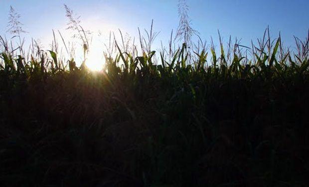 Rebote para el maíz tras un viernes negro.